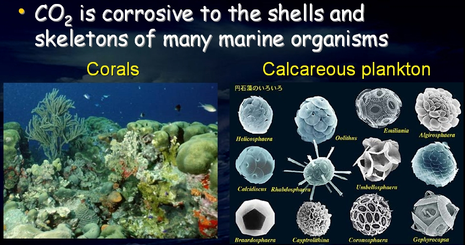 effects of ocean acidification on coral The rising acidity of the oceans threatens coral reefs by making it harder for corals to build their skeletons a new study identifies the details of how ocean acidification affects coral skeletons, allowing scientists to predict more precisely where corals will be more vulnerable.